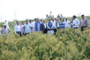 Field Day on Wheat at vill Sample Kheri